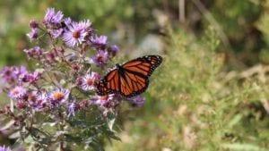 Monarch Butterfly on purple flowers in Spring
